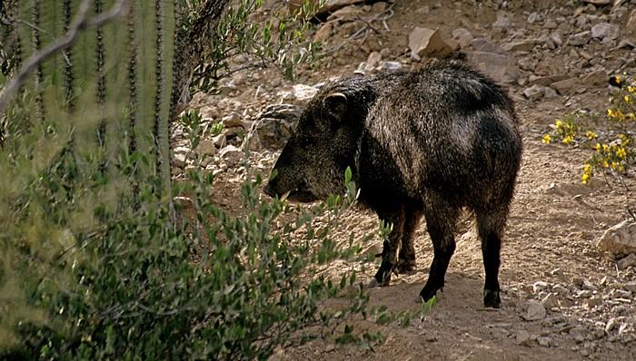 Tucson Arizona-Sonora Desert Museum: Nabelschwein (Pekaris, Tayassuidae, Javelina, Tayassu tajacu)