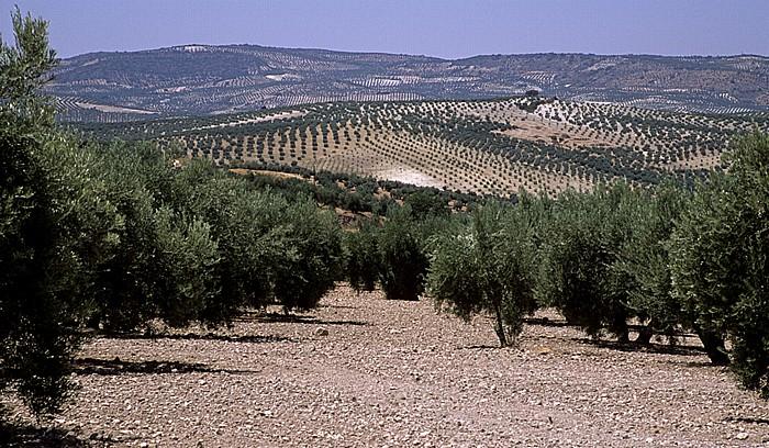 Sierras Subbéticas Olivenplantagen