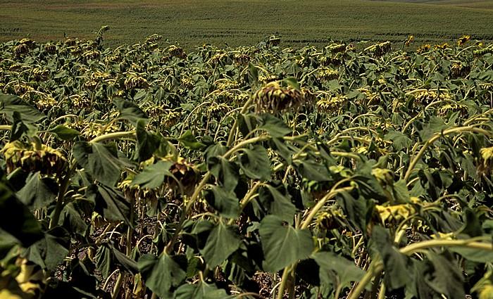 Provincia de Córdoba Sonnenblumenfelder