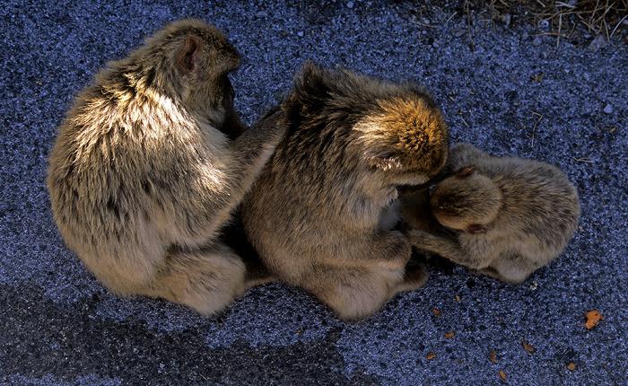 Fels von Gibraltar: Berberaffen im Upper Rock Nature Reserve