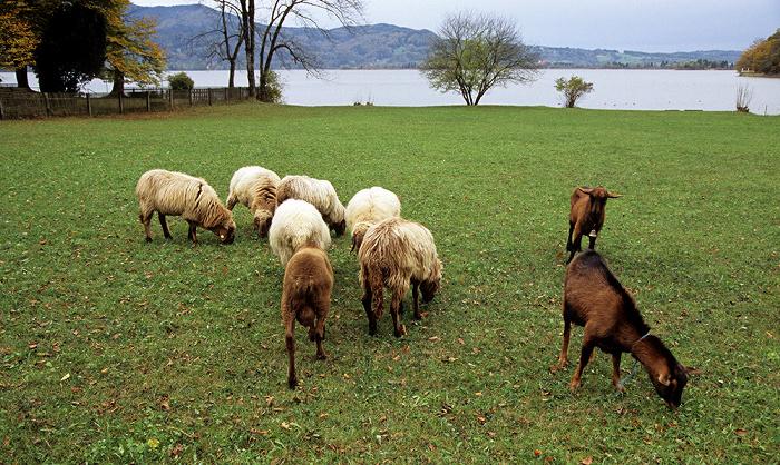 Kochel am See Schafe am Kochelsee