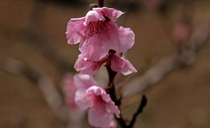 Mandria Troodos-Gebirge: Mandelblüten