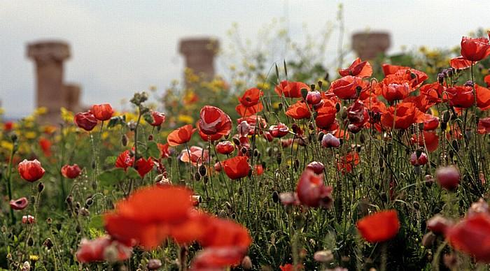 Paphos Archäologischer Park: Mohnblüten