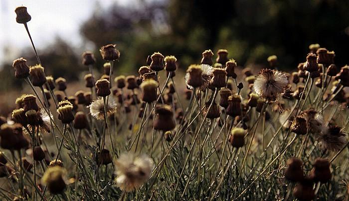 Paphos Königsgräber: Blumen
