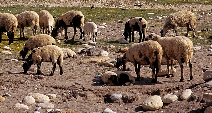 Peyia Strand: Schafe
