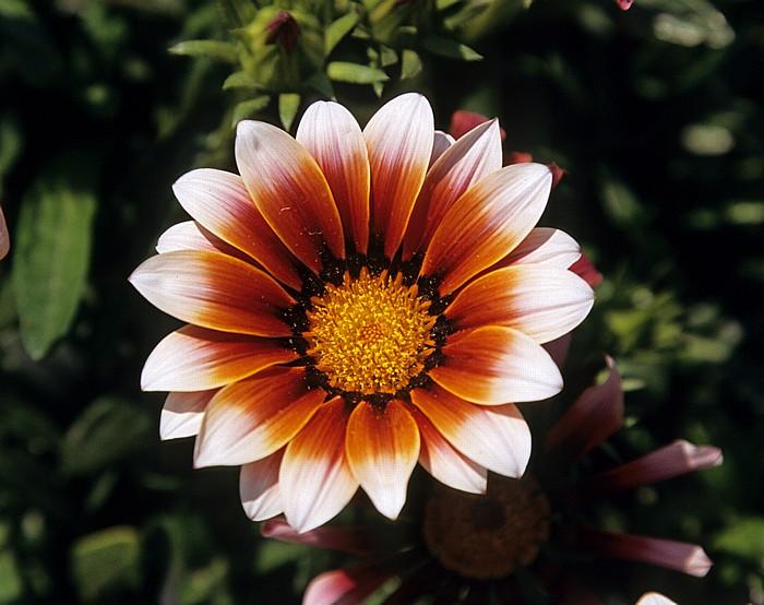 Perivolia Kap Kition: Blume