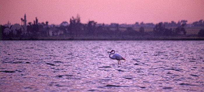 Larnaka Salzsee: Flamingo Chala Sultan Tekke