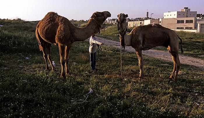 Ölberg: Kamele Jerusalem
