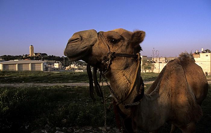 Jerusalem Ölberg: Kamel