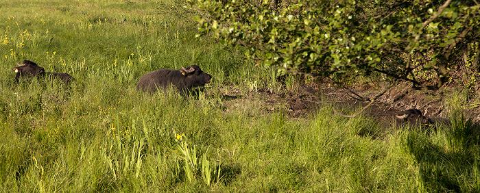 Berlin Pfaueninsel: Wasserbüffel