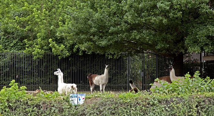 Tiergarten: Zoologischer Garten - Lamas Berlin