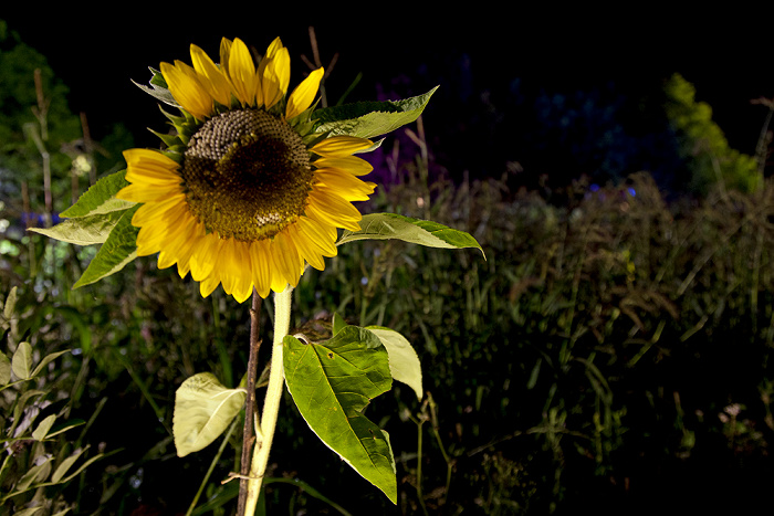 Olympiapark: Sommer-Tollwood - Sonnenblume München
