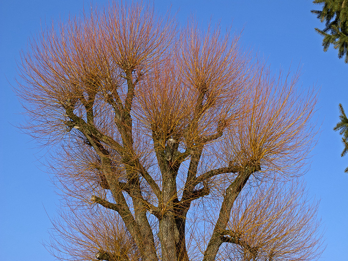 Starnberg Baum