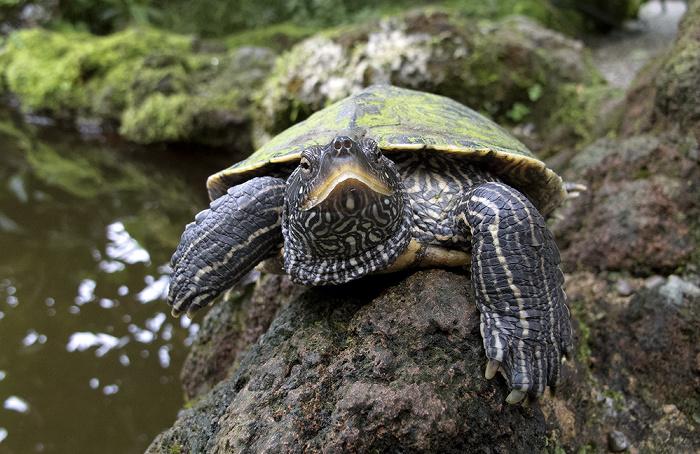 München Botanischer Garten Nymphenburg: Orchideenhaus - Sumpfschildkröte