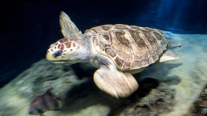 Oceanário de Lisboa: Meeresschildkröte Lissabon