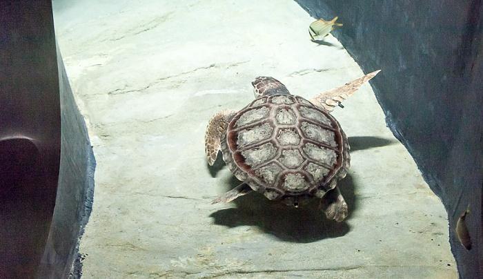 Lissabon Oceanário de Lisboa: Meeresschildkröte