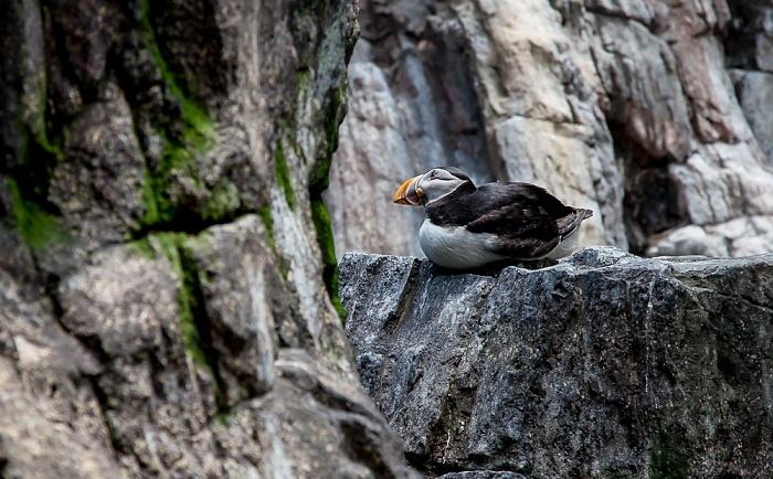 Oceanário de Lisboa: Papageitaucher (Fratercula arctica) Lissabon