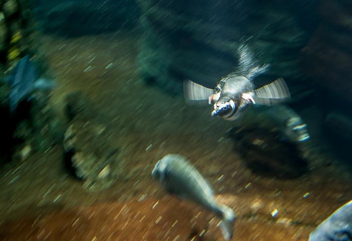 Oceanário de Lisboa: Tauchender Pinguin Lissabon