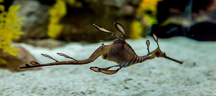 Oceanário de Lisboa: Fetzenfisch (Solegnathinae) Lissabon