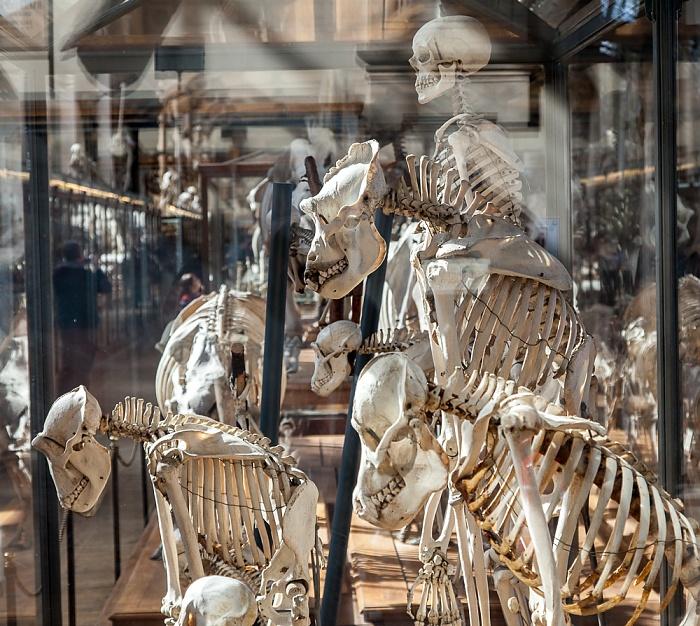 Paris Muséum national d'histoire naturelle (Galerie de Paléontologie et d'Anatomie Comparée)