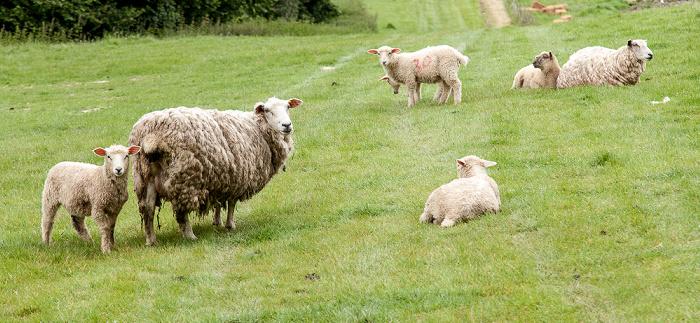 Udimore Schafe