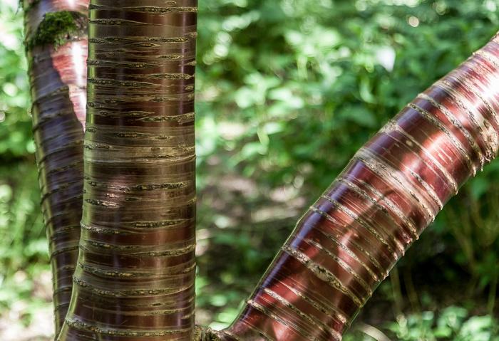 Abbotsbury Subtropical Gardens: Tibetische Kirsche (Mahagoni-Kirsche, Prunus cerasoides var. tibetica)