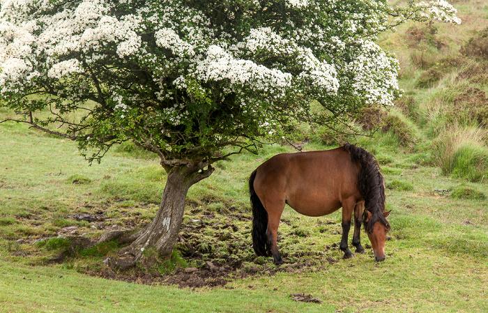 Dartmoor National Park Dartmoor: Pferd
