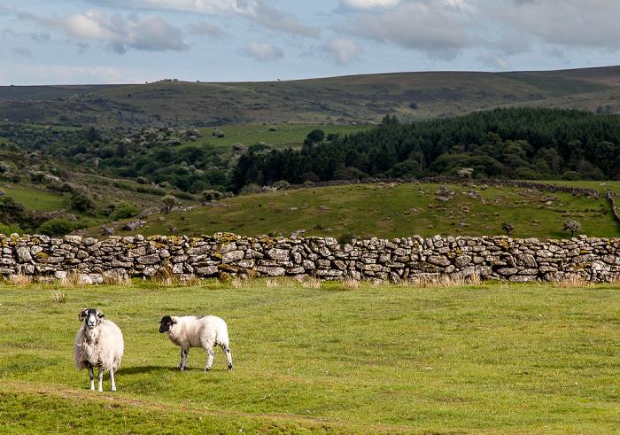 Dartmoor National Park Dartmoor: Schafe