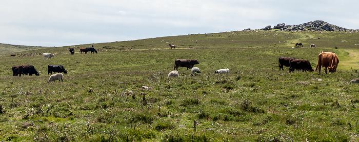 Dartmoor National Park Dartmoor: Rinder, Schafe und Pferde