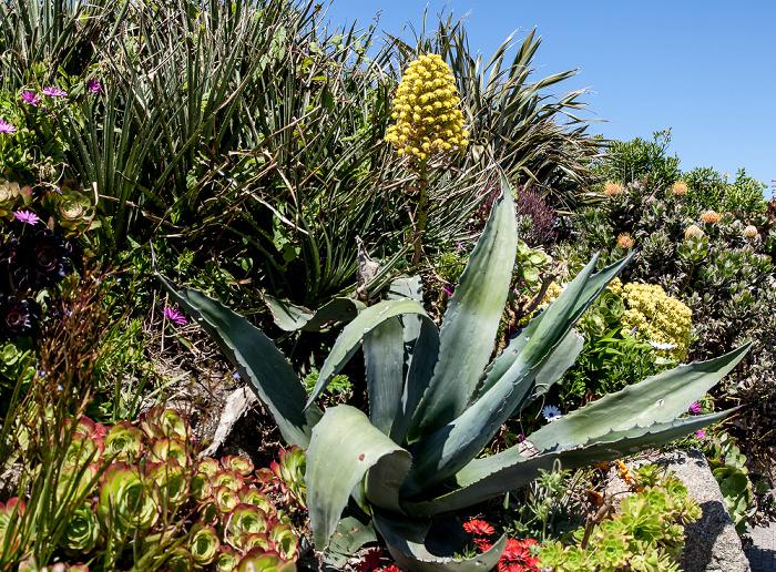 Porthcurno Minack Gardens