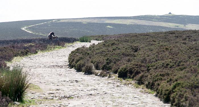 Exmoor National Park Dunkery Hill: Weg zum Dunkery Beacon, Exmoor-Ponys