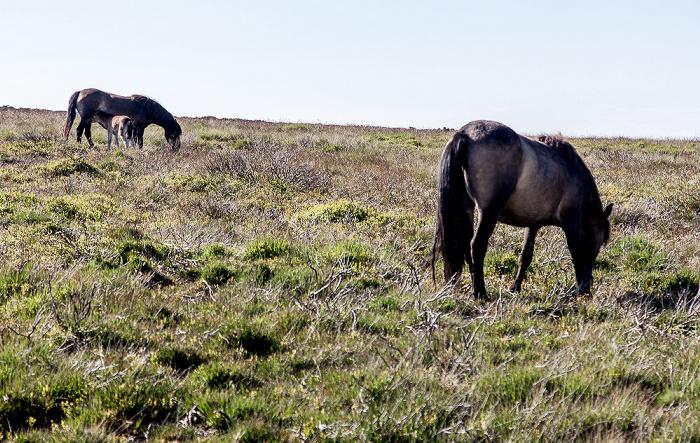 Exmoor National Park Dunkery Hill: Exmoor-Ponys
