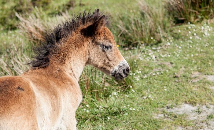 Exmoor National Park Dunkery Hill: Exmoor-Pony