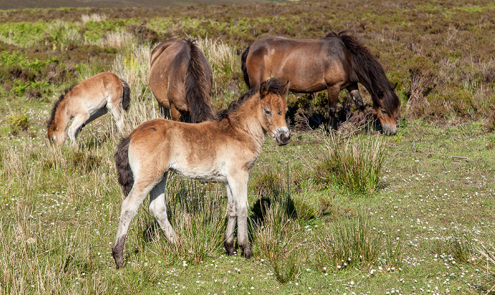 Exmoor National Park Dunkery Hill: Exmoor-Ponys