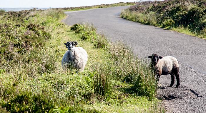 Exmoor National Park Dunkery Hill: Schafe