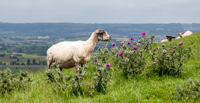 Glastonbury Tor: Schafe