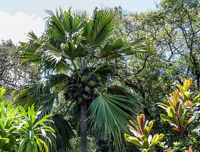 Victoria (Seychellen) Mont Fleuri Botanical Gardens: Seychellenpalme (Coco de Mer, 1956 gepflanzt von Prinz Phillip)