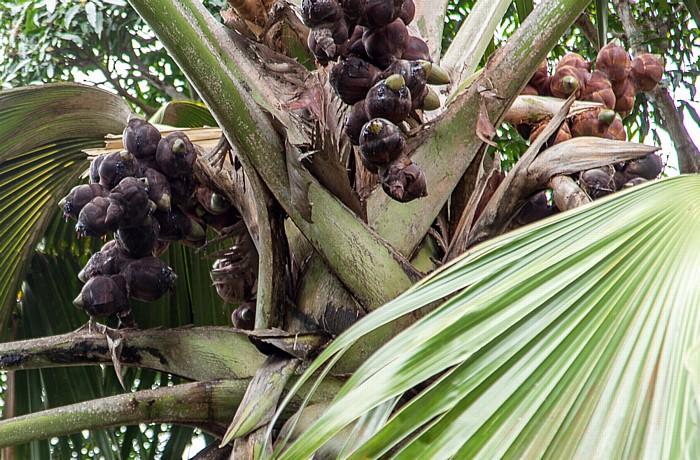 Mahé Mont Fleuri (Sans Soucis Road): Seychellenpalme (Coco de Mer, Lodoicea maldivica)
