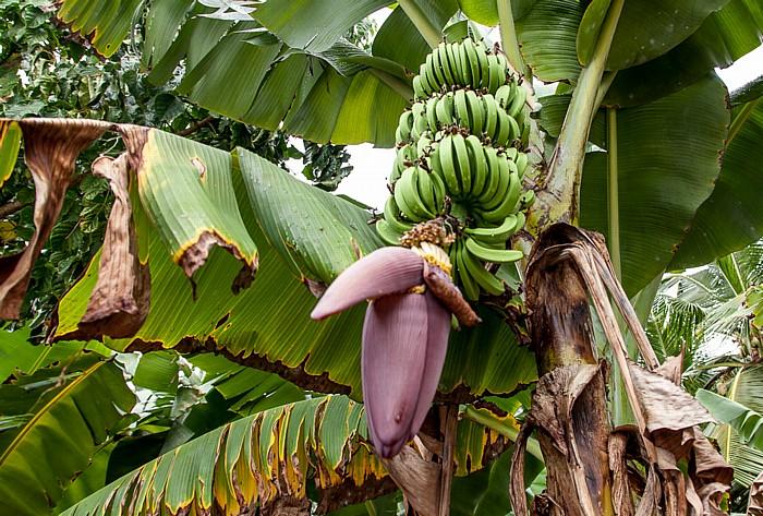 Mahé Anse Soleil: Bananenstaude
