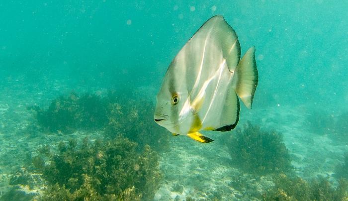 La Digue Indischer Ozean (Anse Source d'Argent): Rundkopf-Fledermausfisch (Platax orbicularis)