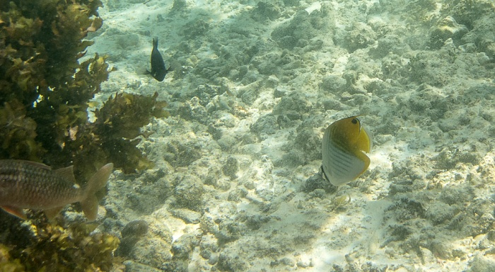La Digue Indischer Ozean (Anse Source d'Argent): Falterfisch (Chaetodontidae) (rechts)