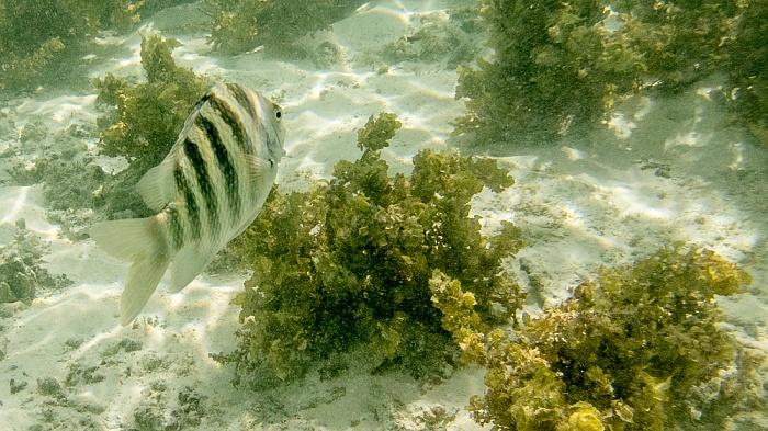 La Digue Indischer Ozean (Anse Source d'Argent): Feldwebelfisch (Abudefduf)