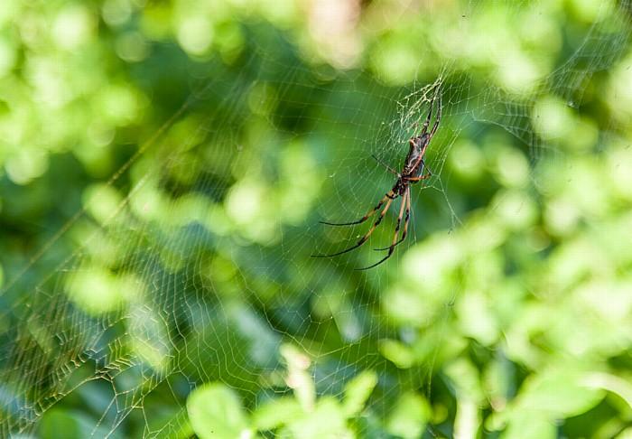 La Digue Petit Anse: Seidenspinne (Nephilidae) in ihrem Netz
