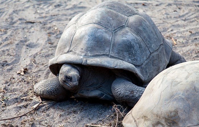 La Digue L'Union Estate: Aldabra-Riesenschildkröte (Aldabrachelys gigantea)