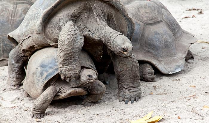 La Digue L'Union Estate: Aldabra-Riesenschildkröten (Aldabrachelys gigantea) bei der Paarung