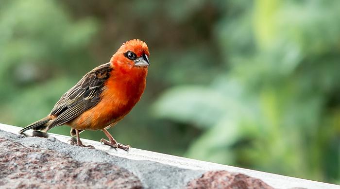 Praslin Baie Sainte Anne: Colibri Hotel - Madagaskarweber (Foudia madagascariensis) (Männchen)