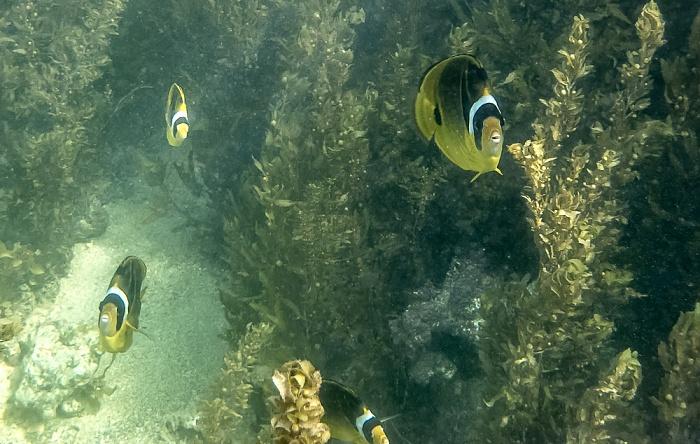 Praslin Baie Sainte Anne (Indischer Ozean): Mondsichel-Falterfische (Chaetodon lunula)