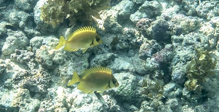 Praslin Baie Sainte Anne (Indischer Ozean): Korallen-Kaninchenfische (Siganus corallinus)