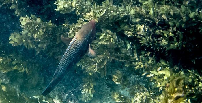 Praslin Baie Sainte Anne (Indischer Ozean): Papageifisch (Scarinae)