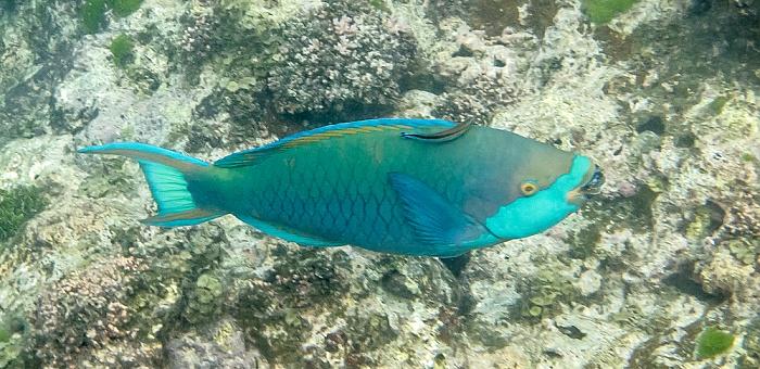 Praslin Baie Sainte Anne (Indischer Ozean): Papageifisch (Seepapagei, Scarinae) mit Putzerlippfisch (Labrichthyini)